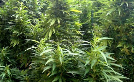 Полицията от Казанлък разкри отново оранжерия за марихуана - този път в град Крън, съобщават от БНТ. Акцията е проведена късно снощи. Оранжерията е била...