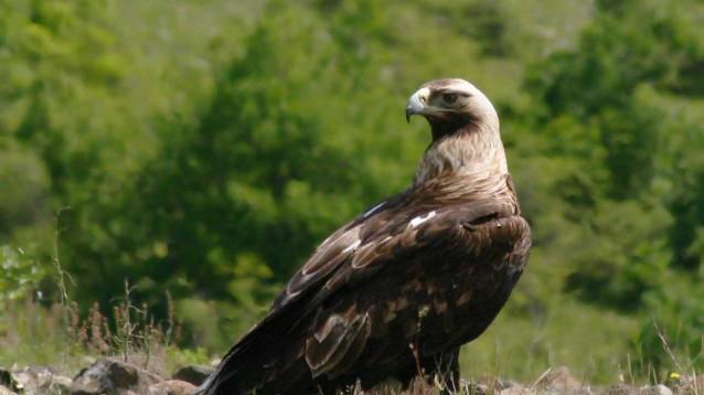 Броят на излюпените малки царски орли през този размножителен сезон е 37. Това е поредния рекорд за царския орел у нас тази година, отбелязват от Българското...