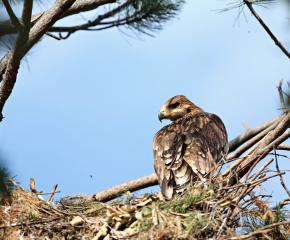 Поставиха 40 изкуствени гнезда за застрашения царски орел