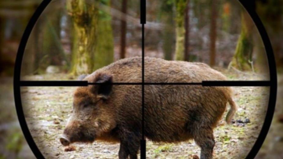 Пореден случай на Африканска чума по свинете е регистриран при отстрел на диво животно вямболско. Междувременно започна преброяване на прасетата в личните...