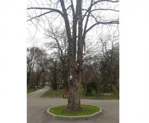 Премахнати са две опасни дървета по централната алея в градския парк. На тяхно място ще бъдат засадени нови