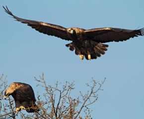 Проект за царския орел е с номинация за награда от ЕК