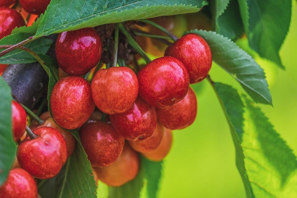 Ежедневните дъждове, падналите на места и градушки, и липсата на пазар и изкупуване съсипват черешовата реколта в Кюстендилско, коментират земеделски производители. Иначе...