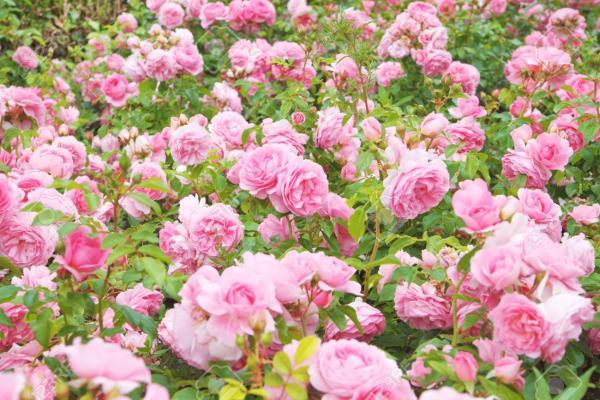 Броени дни преди началото на розобера, розопроизводители от Карловско започнаха да унищожават розовите си насаждения, защото са обречени на фалити заради...
