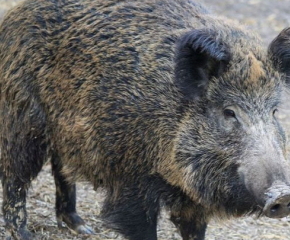 Първи случай на африканска чума по свинете в област Перник