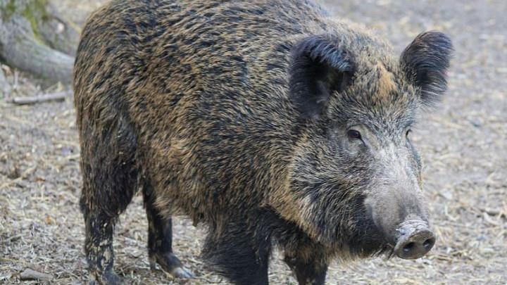 Първи случай на африканска чума по свинете е констатиран в област Перник. Заболяването е регистрирано на територията на община Брезник. Турист е намерил...
