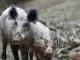 Първи случай на чума по свинете в Асеновград