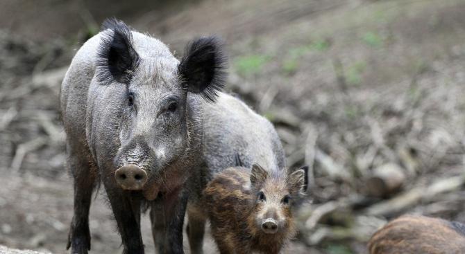 За първи случай на африканска чума по свинете в района на община Асеновград съобщава БНР. Положителна проба за болестта е при диво прасе, отстреляно от...