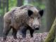 Първи случай на чума по свинете в област Ямбол (видео)
