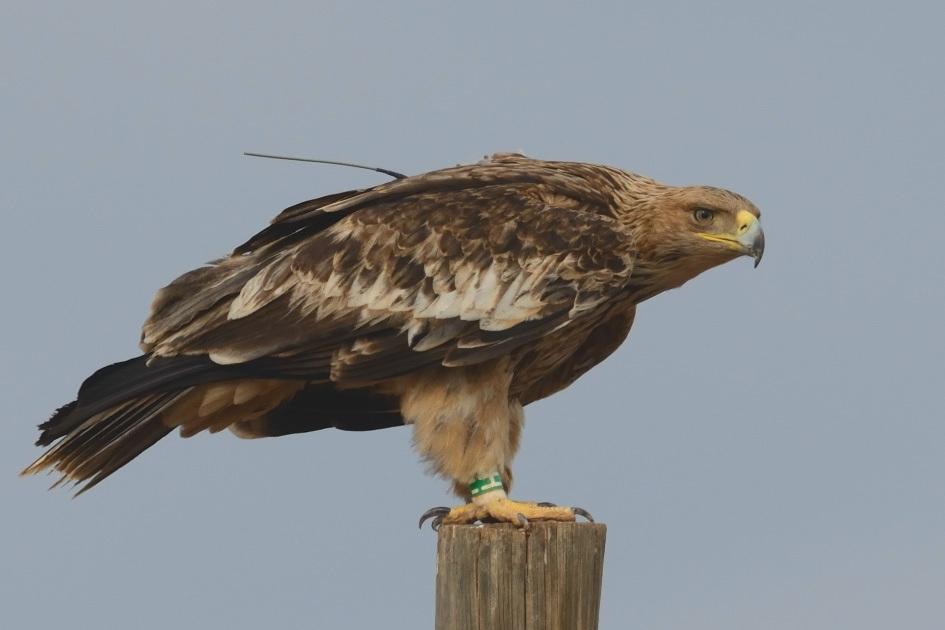 Огромен природозащитен успех в опазването на вида у нас  Три – толкова е бил броят на известните гнезда на застрашения в световен мащаб царски орел в...