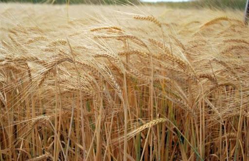 Над 7 000 000 тона пшеница е ожъната това лято в България, като това е най-голямото количество за последните години, предават от БНР. Според браншовата...