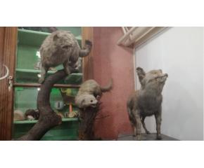 Реставрират около 200 препарирани животни във Велико Търново