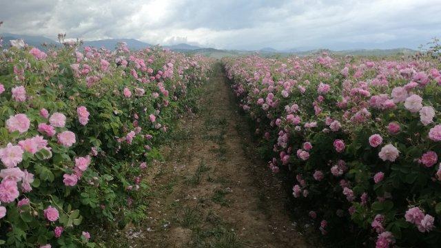 Розопроизводители обявиха, че няма да събират розов цвят през тази година и ще прибегнат до унищожаване на дългогодишни полета с маслодайна роза, коментират...