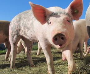 Само 40% от потребеното свинско месо у нас е българско