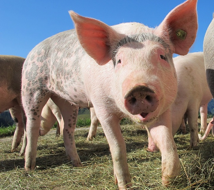 Почти 90% от фермите, които бяха поразени от африканската чума по свинете през 2019 г., вече работят. Производството на свинско месо обаче не е достигнало...