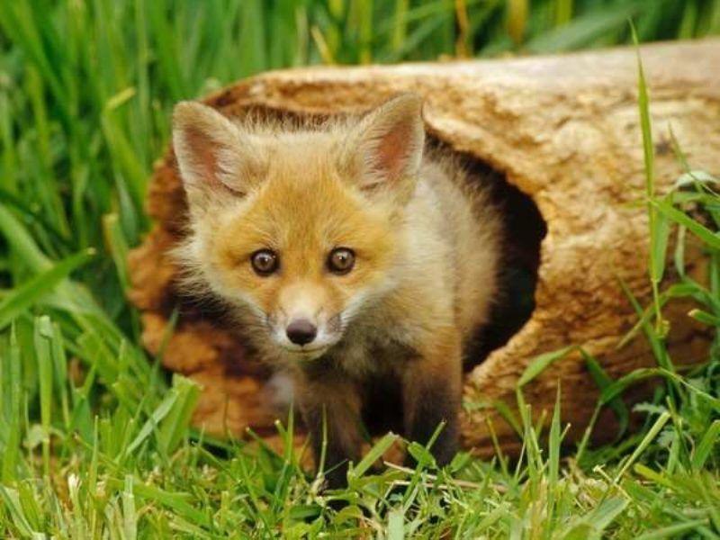 Българска агенция по безопасност на храните (БАБХ) започва орална ваксинация на дивите хищници срещу бяс, съобщиха от пресцентъра на агенцията. Тя ще се...