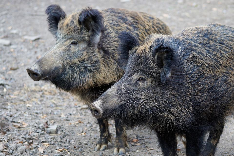 Нови седем случая на африканска чума по диви свине са регистрирани в Ловешка област са регистрирани от началото на годината, съобщиха от областната епизоотична...
