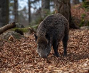 Сезонът за групов лов на дива свиня няма да бъде удължен