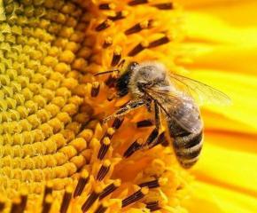 Ще се извършат растителнозащитни действия на посеви с пшеница, пчеларите да предпазят пчелите си