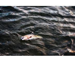 Сигнали за умряла риба по течението на Тунджа в общините Тунджа и Елхово