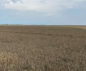След сушата пшеницата взе да чернее от дъждовете и изпаренията