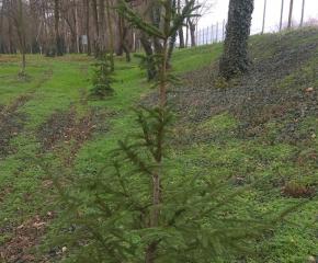 """Служители на Общинско предприятие """"Паркове и зони за отдих и спорт"""" ще помагат на граждани да засаждат коледни дръвчета през януари"""