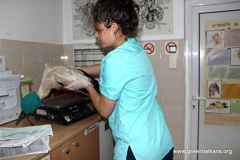 В края на изминалата седмица, екипът на Спасителния център на Зелени Балкани, в съвместна акция с екип на ЕР ЮГ спаси четири млади щъркелчета, съобщават...
