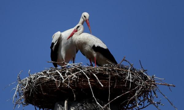 Четири птици от вида бял щъркел, от които 3 млади и 1 възрастен, са изпратени за доотглеждане и лечение в Стара Загора, съобщават от екоинспекцията в Русе. Сигналът...