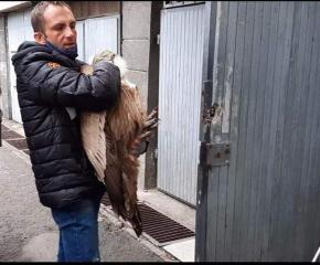Спасиха и втория скитащ лешояд в Сливен