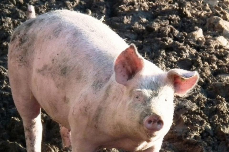 Само в 27 населени места в община Тунджа стопаните, които заклаха прасетата си, са получили обещаното обезщетение от държавата. Към момента плащанията...