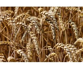 Средно с около 100 килограма по-малко пшеница спрямо 2019г.