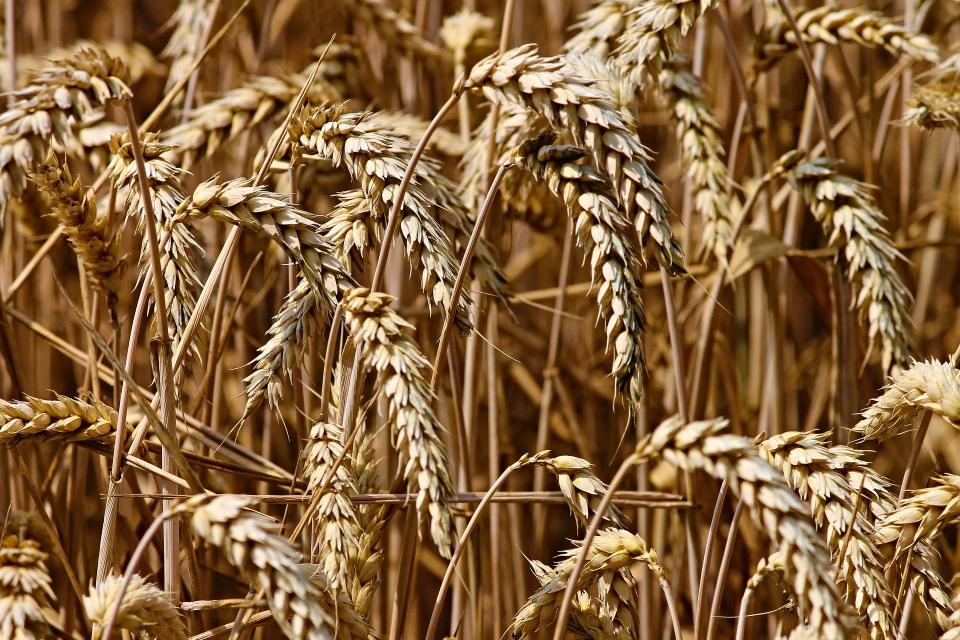 4 627 000 тона е произведената тази година пшеница, сочат окончателните данни на министерството на земеделието, съобщава БНР. Средният добив от декар е...
