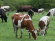 Стадо крави изчезна, докато било на пасище с електронен пастир