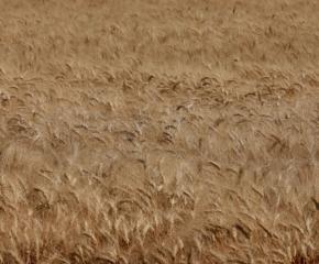 Сушата удари зърното и в община Болярово