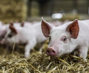 Свинеферми забраняват на своите служители да ходят на лов