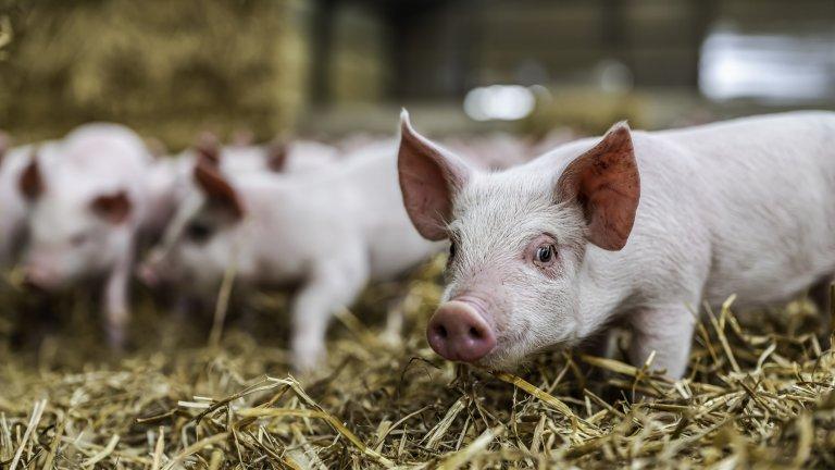 Работниците в свинеферми трябва да подписват декларации, че не ходят на лов и риболов, и няма да събират билки и трюфели. Това са част от мерките за предпазване...