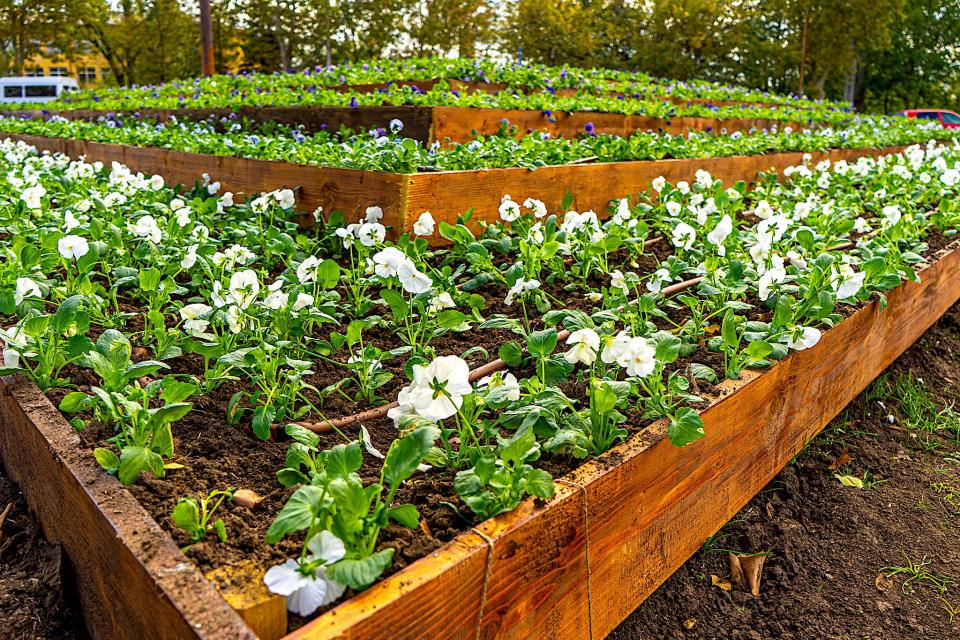 """Композицията, съставена от 16 000 цветя - 10 000 теменужки и 6000 лалета, се очаква да разцъфне напълно през пролетта. Общинско предприятие """"Паркове и..."""