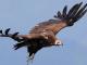 Убитият лешояд е застрелян на териотирията на държавно ловно стопанство