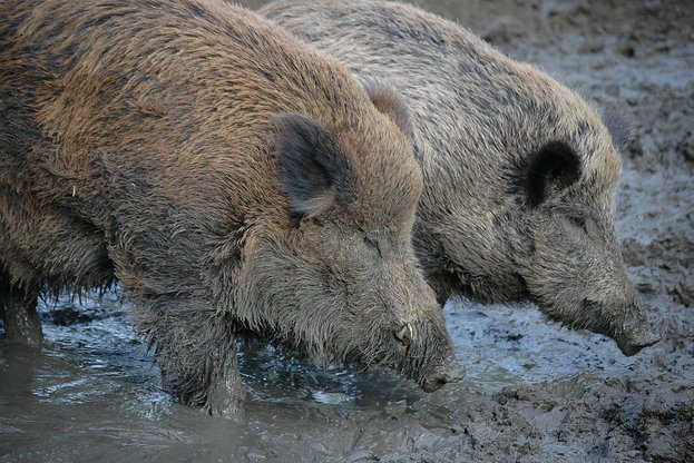 До 31 януари 2020 г. се удължава срокът за групово ловуване на дива свиня в цялата страна. Мярката се предприема със заповед на министъра на земеделието,...