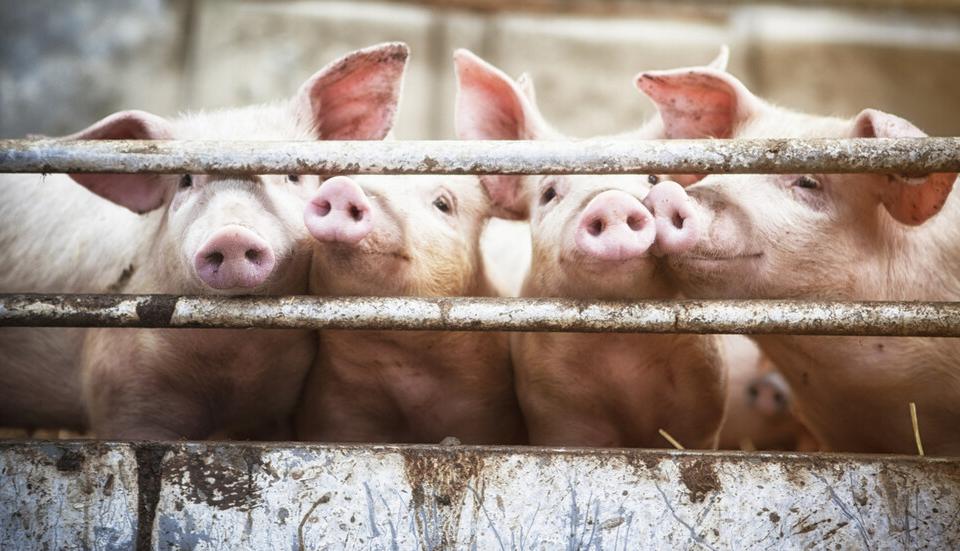В пазарджишкото село Сбор изградиха санитарни зони на входа и изхода на населеното място, за да не се разпространява африканската чума по свинете (АЧС)....