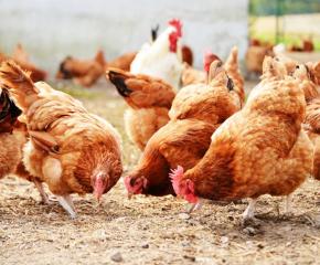 Умъртвяват 174 000 кокошки в асеновградско село