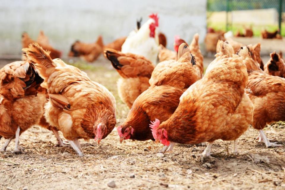 174 000 кокошки от асеновградското село Моминско ще бъдат умъртвени. Заповед за това е издадена от Агенцията по безопасност на храните, след като в обекта...