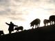 Умъртвяват близо 4000 прасета, заради новооткрито огнище на АЧС във Видинско