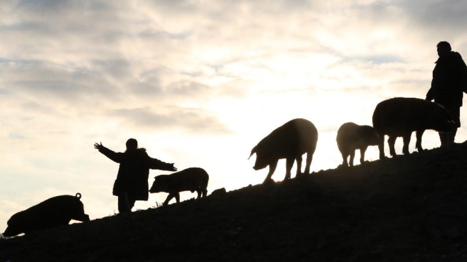 В промишлен свинекомплекс във видинското село Новоселци е открито заболяване африканска чума по свинете. Близо 4000 прасета ще бъдат умъртвени. Това съобщи...