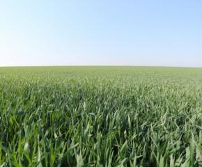 Валежите спасиха реколтата в Добричка област