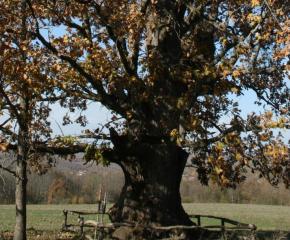 """Вековните защитени дървета в ПП """"Странджа"""" ще станат с 11 повече"""