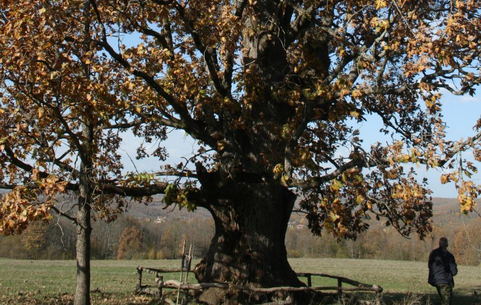 """Авторитетни лесовъди предлагат да бъдат обявени за защитени още 11 вековни дървета на територията на Природен парк """"Странджа"""". Това са стари дъбови..."""