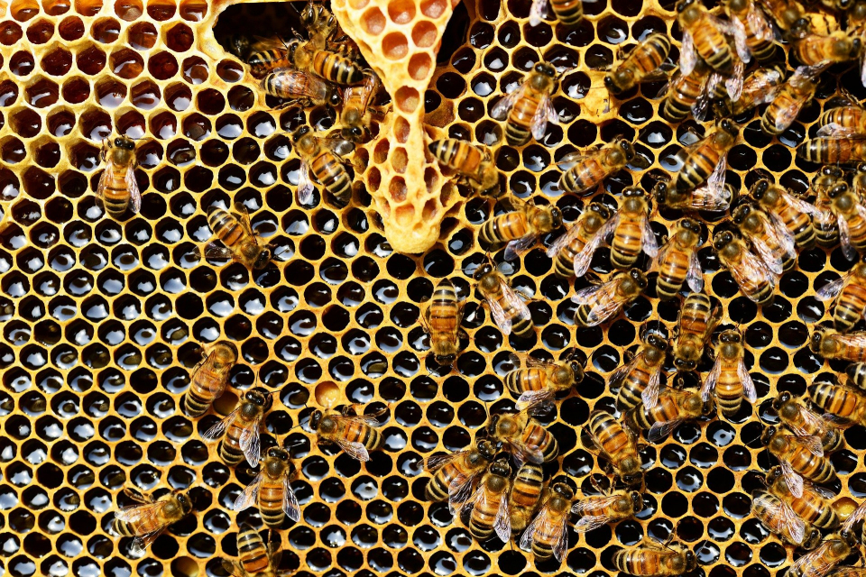 Областните дирекции по безопасност на храните (ОДБХ) започват проверки в цялата страна на здравословното състояние на пчелните семейства и тяхната регистрация. Целта...