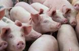 Властите: До седмица всички домашни прасета в област Кюстендил трябва да са заклани
