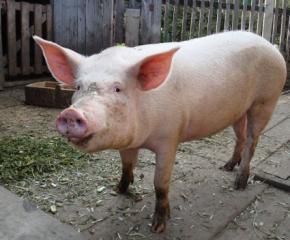 Възобновяват регистрацията на свинете в лични стопанства